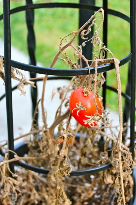 garden, tomato, plant, fall, harvest